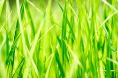 Ciérrese para arriba de campo del arroz del verde amarillo fotografía de archivo