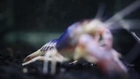 Ciérrese para arriba de cangrejos en acuario metrajes