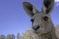 Ciérrese para arriba de canguro Fotos de archivo