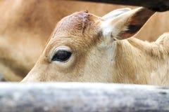 Ciérrese para arriba de cara de la vaca Fotografía de archivo