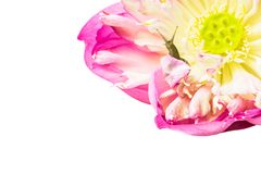 Ciérrese para arriba de caracol en las flores de loto Fotos de archivo libres de regalías