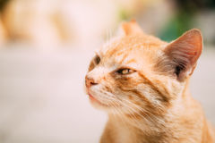 Ciérrese para arriba de Cat Outdoor Portrait roja Fotografía de archivo libre de regalías
