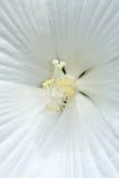 Ciérrese para arriba de centro del hibisco Foto de archivo