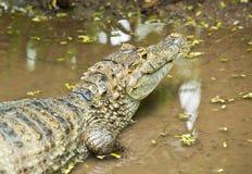 Ciérrese para arriba de cocodrilo Fotos de archivo