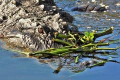 Ciérrese para arriba de cocodrilo en los humedales Imagen de archivo