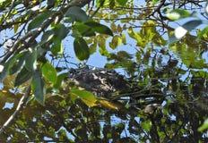Ciérrese para arriba de cocodrilo en los humedales Fotos de archivo libres de regalías