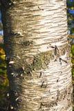 Ciérrese para arriba de corteza de abedul; Árbol de abedul Foto de archivo