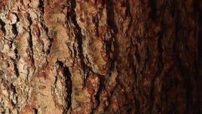 Ciérrese para arriba de corteza de árbol almacen de metraje de vídeo