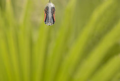 Ciérrese para arriba de crisálidas de la mariposa de monarca Foto de archivo