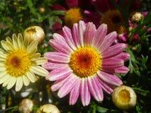 Ciérrese para arriba de crisantemos rosados y blancos Imagen de archivo libre de regalías