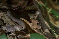 Ciérrese para arriba de cuerpo superior y de la cabeza de un lagarto de Skink foto de archivo libre de regalías