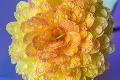Ciérrese para arriba de dalia amarilla con descensos del agua Foto de archivo libre de regalías