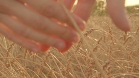 Ciérrese para arriba de dos amantes que se unen a las manos en un campo de trigo de oro Cámara lenta almacen de metraje de vídeo