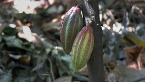 Ciérrese para arriba de dos amarillos y de vainas púrpuras del cacao en un árbol metrajes