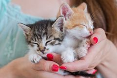 Ciérrese para arriba de dos gatitos lindos en manos del ` s de la mujer fotos de archivo libres de regalías