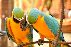 Ciérrese para arriba de dos macaws hermosos Imagen de archivo