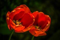 Ciérrese para arriba de dos tulipanes rojos imagen de archivo
