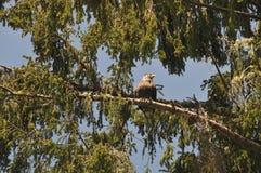 Ciérrese para arriba de Eagle que descansa sobre una rama en los árboles Foto de archivo