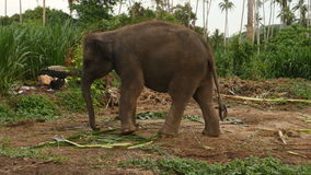 Ciérrese para arriba de elefante asiático almacen de metraje de vídeo