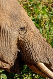 Ciérrese para arriba de elefante en Kenia en safari fotografía de archivo libre de regalías