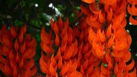 Ciérrese para arriba de florecer a Jade Vine en un tropicalgarden almacen de metraje de vídeo