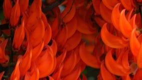 Ciérrese para arriba de florecer a Jade Vine en un tropicalgarden metrajes