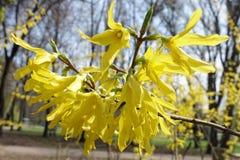 Ciérrese para arriba de flores amarillas de la forsythia Imagenes de archivo