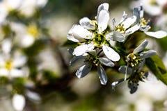Ciérrese para arriba de flores de cerezo en naturaleza Imagen de archivo libre de regalías
