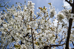 Ciérrese para arriba de flores florecientes de la rama del cerezo en tiempo de primavera Profundidad del campo baja Detalle de la Imagenes de archivo
