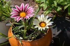 Ciérrese para arriba de flores multicoloras en un pote en un jardín en un sunn imagen de archivo libre de regalías
