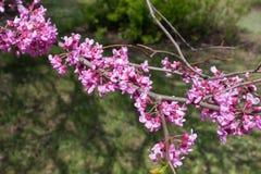 Ciérrese para arriba de flores rosadas del redbud del este Imagenes de archivo