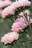 Ciérrese para arriba de fondo brillante del tiempo del otoño de las flores de los asteres Fotografía de archivo