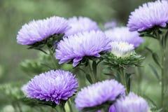 Ciérrese para arriba de fondo brillante del tiempo del otoño de las flores de los asteres Foto de archivo libre de regalías