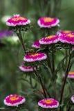 Ciérrese para arriba de fondo brillante del tiempo del otoño de las flores de los asteres Fotos de archivo libres de regalías