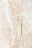 Ciérrese para arriba de fondo de las lanas de las ovejas del boer Fotos de archivo