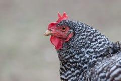 Ciérrese para arriba de gallina blanco y negro en fondo gris neutral Foto de archivo