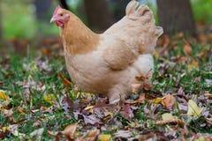 Ciérrese para arriba de gallina en bosque Fotos de archivo libres de regalías
