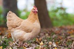 Ciérrese para arriba de gallina en el bosque Imagen de archivo libre de regalías