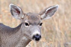 Ciérrese para arriba de gama de los ciervos mula Foto de archivo libre de regalías