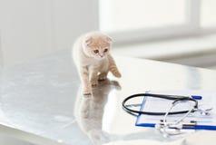Ciérrese para arriba de gatito del doblez del escocés en la clínica del veterinario Imagenes de archivo
