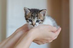 Ciérrese para arriba de gatito lindo en manos del ` s de la mujer imagen de archivo