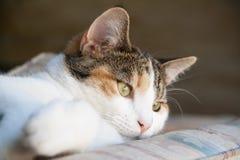 Ciérrese para arriba de gato de calicó hermoso Imagen de archivo