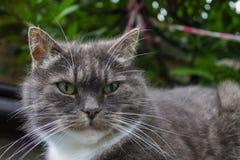Ciérrese para arriba de gato gris imagen de archivo