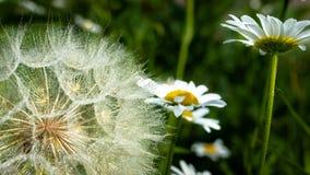 Ciérrese para arriba de Goastsbeard y de Daisy Deatled Seeds fotos de archivo