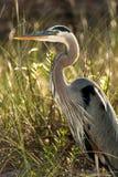 Ciérrese para arriba de Grey Heron imágenes de archivo libres de regalías