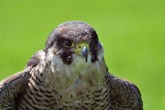 Ciérrese para arriba de halcón Imagen de archivo libre de regalías