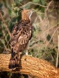 Ciérrese para arriba de Hawk Eagle fotografía de archivo