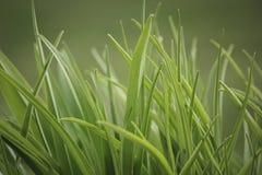 Ciérrese para arriba de hierba Fotografía de archivo libre de regalías
