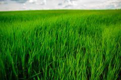 Ciérrese para arriba de hierba gruesa fresca con descensos del agua en la madrugada Foto de archivo