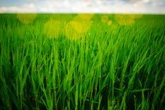 Ciérrese para arriba de hierba gruesa fresca con descensos del agua en la madrugada Fotos de archivo